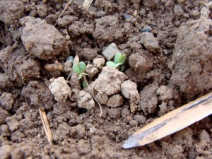 seed in open ground
